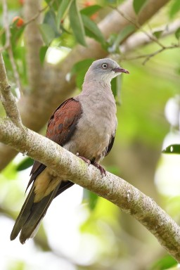 Mountain Imperial Pigeon at Pulau Ubin. Photo Credit: Daniel Wee