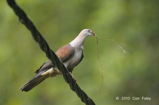 Mountain Imperial Pigeon at Frasers Hill. Photo Credit: Con Foley