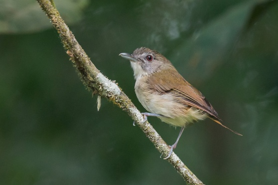 Moustached Babbler at Panti Forest. Photo Credit: Francis Yap