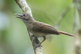 Moustached Babbler at Taman Negara. Photo Credit: Francis Yap