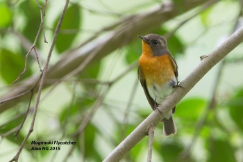 First-winter male Mugimaki Flycatcher from Dairy Farm Nature Park. Photo Credit: Alan Ng