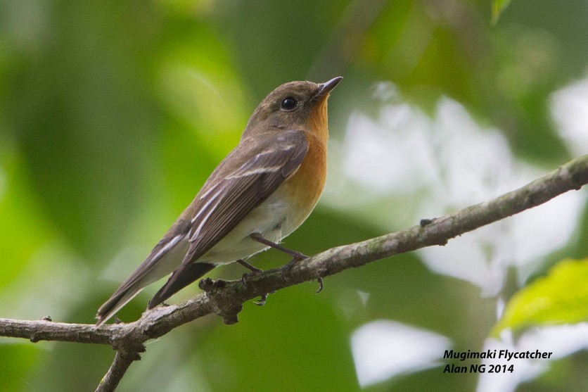 Female Mugimaki Flycatcher from Bidadari. Photo Credit: Alan Ng