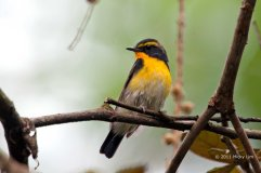 Narcissus Flycatcher (male) from Sepilok, Sabah. Photo credits: Micky Lim