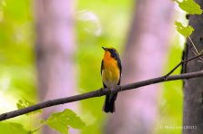 Narcissus Flycatcher (male) from Japan. Photo credits: Micky Lim