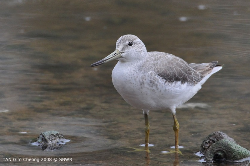 Nordmann's Greenshank at SBWR. Photo Credit: Tan Gim Cheong