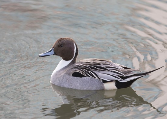 Northern Pintail (male) at Tokyo Ueno Park. Photo credit: See Toh Yew Wai