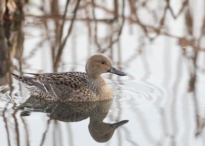 Northern Pintail (female) at Tokyo Ueno Park. Photo credit: See Toh Yew Wai
