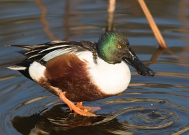 Northern Shoveler (male) at Tokyo Ueno Park. Photo credit: See Toh Yew Wai