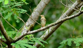 Olive-backed Pipit at Bidadari on December 2010. Photo Credit: Mark G