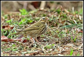 Olive-backed Pipit at Thailand. Photo credit: Daniel Koh aka Hiker
