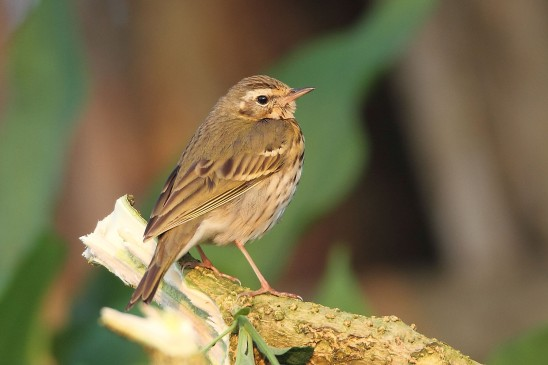 Olive-backed Pipit at Thailand. Photo credit: Myron Tay