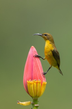 Olive-backed Sunbird at SBTB. Photo Credit: Francis Yap