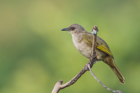Olive-winged Bulbul at Jelutong Tower. Photo Credit: Francis Yap