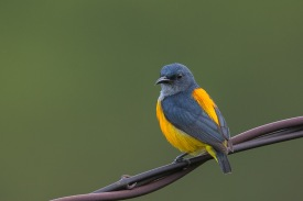 Orange-bellied Flowerpecker (male) at Jelutong Tower. Photo credits: Francis Yap