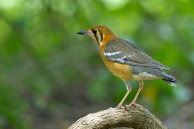 Orange-headed Thrush - ssp gibsonhilli - at Bidadari. Photo credit: Francis Yap