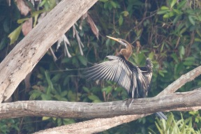 Oriental Darter at Pekan Quarry. Photo Credit: Francis Yap