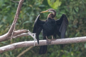 Oriental Darter at Bukit Gombak. Photo Credit: Francis Yap