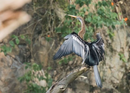 Oriental Darter at Bukit Gombak. Photo Credit: See Toh Yew Wai