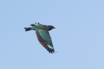 Oriental Dollarbird at Faber Hill. Photo Credit: Francis Yap