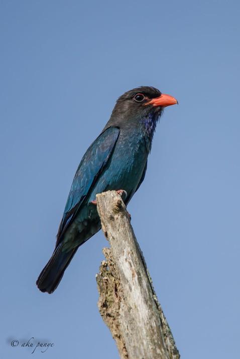 Oriental Dollarbird. Photo Credit: Zahidi Hamid