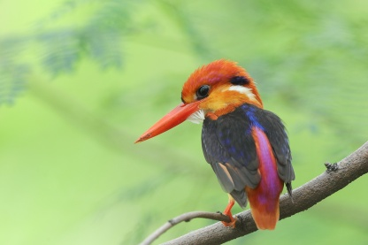 Oriental Dwarf Kingfisher at Tuas South. Photo credit: Francis Yap
