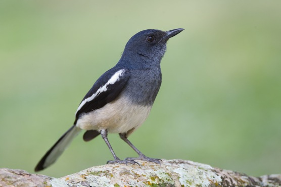 Oriental Magpie-Robin at SBG. Photo Credit: Francis Yap
