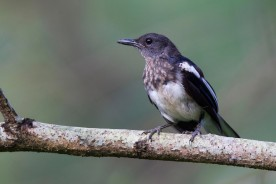 Juvenile Oriental Magpie-Robin. Photo Credit: Alan Ng