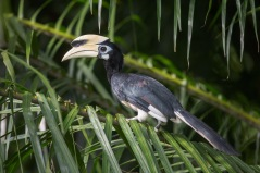 Oriental Pied Hornbill at Pulau Ubin. Photo Credit: Francis Yap