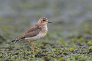 Oriental Plover at Seletar Dam. Photo Credit: Francis Yap