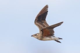 Oriental Pratincole at Seletar Dam. Photo credit: Francis Yap