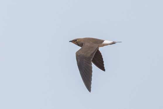 Oriental Pratincole at Tuas South. Photo Credit: Francis Yap