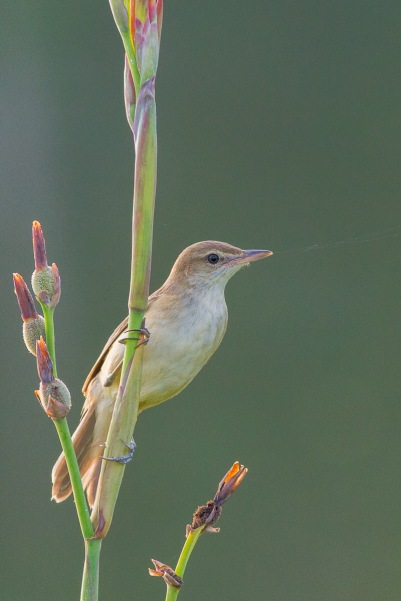 Oriental Reed Warbler from Sengkang Riverside Park. Photo Credit: Francis Yap
