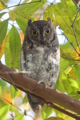 Greyish morph Oriental Scops Owl at Dairy Farm Nature Park. Photo credit: Francis Yap