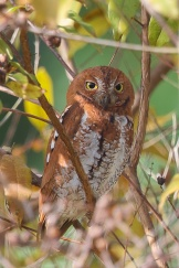 Rufous morph Oriental Scops Owl at Dairy Farm Nature Park. Photo credit: Francis Yap