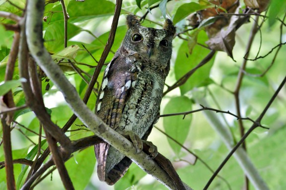 Greyish morph Oriental Scops Owl at Bidadari. Photo Credit: Lawrence Cher