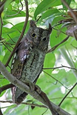 Greyish morph Oriental Scops Owl at Bidadari. Photo Credit: Raymond Siew