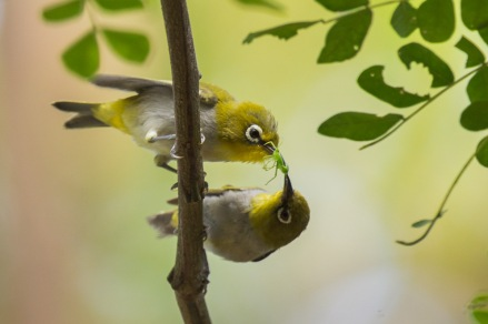 Oriental White-eye at Pasir Ris Park. Photo credits: Francis Yap