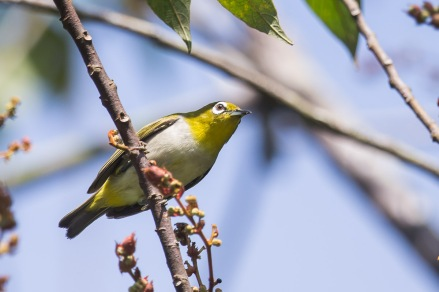 Oriental White-eye at Pulau Ubin. Photo credits: Francis Yap