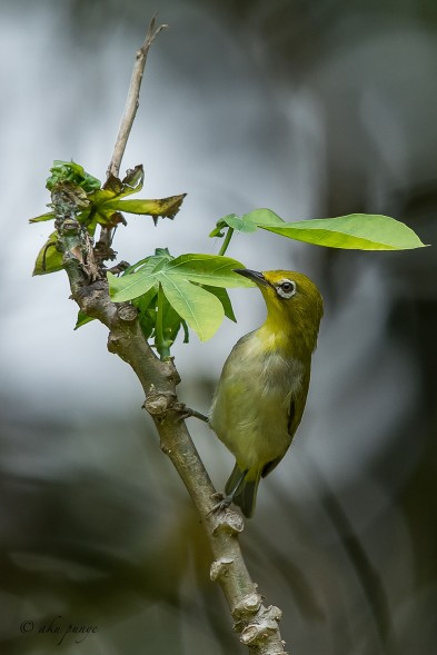 Oriental White-eye. Photo credits: Mohamad Zahidi