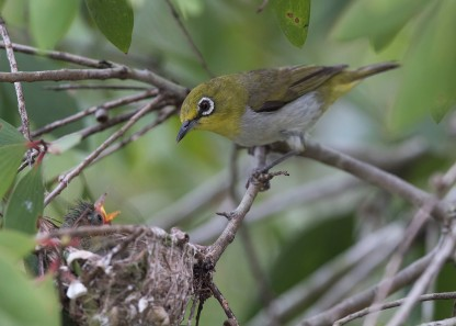 Oriental White-eye at nest. Photo credit: See Toh Yew Wai
