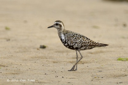 Pacific Golden Plover at Seletar. Photo credit: Con Foley