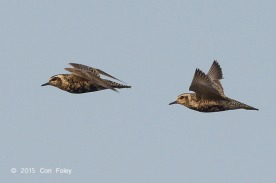 Pacific Golden Plovers at Seletar. Photo credit: Con Foley