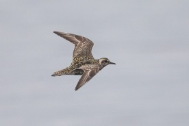 Pacific Golden Plover at Seletar Dam. Photo credit: Francis Yap
