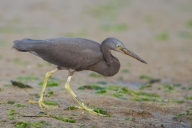 Pacific Reef Heron, dark morph at Seletar Dam. Photo Credit: Francis Yap