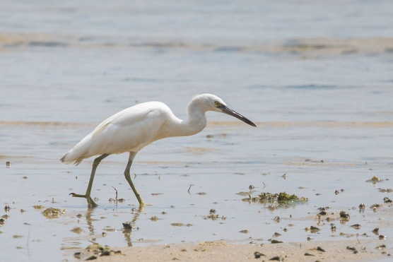 Pacific Reef Heron, white morph at Pulau Hantu. Photo Credit: Francis Yap