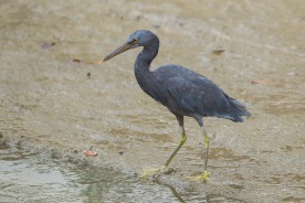 Pacific Reef Heron, dark morph at Telok Kurau. Photo Credit: Francis Yap