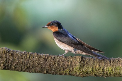 Pacific Swallow. Photo Credit: Francis Yap