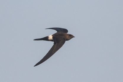 Pacific Swift at Jelutong Tower. Photo credit: Francis Yap