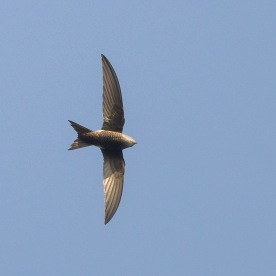 Pacific Swift at Bukit Timah Summit. Photo credit: Francis Yap