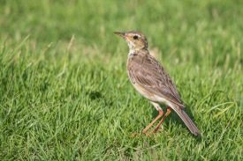 Paddyfield Pipit at Gardens by the Bay East. Photo Credit: Francis Yap